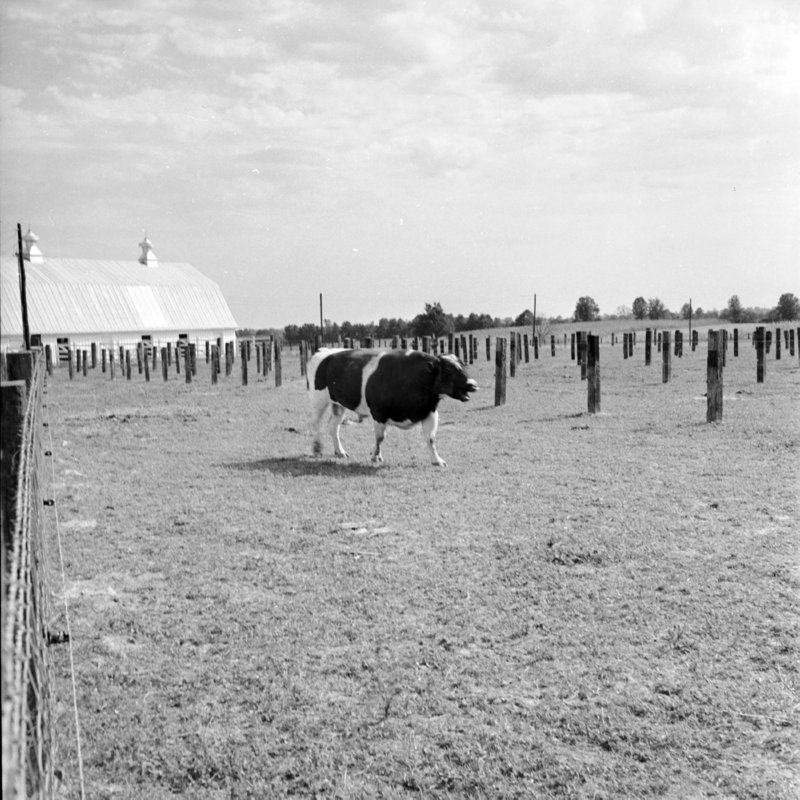037_Find the herd; Moooo. (1951).jpg