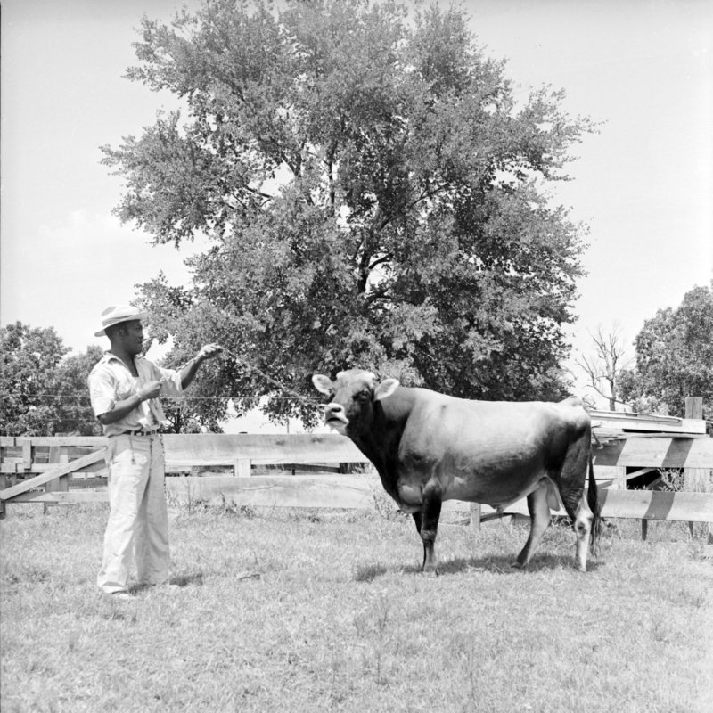 104_Various cattle breeds and... (1951).jpg