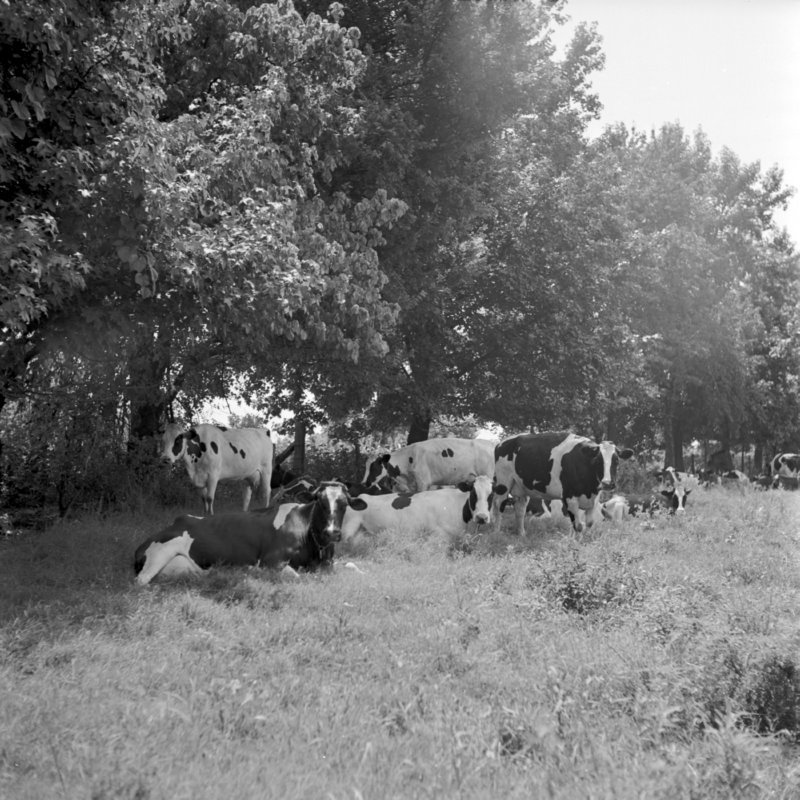 114_pasture rotation for... (1951).jpg