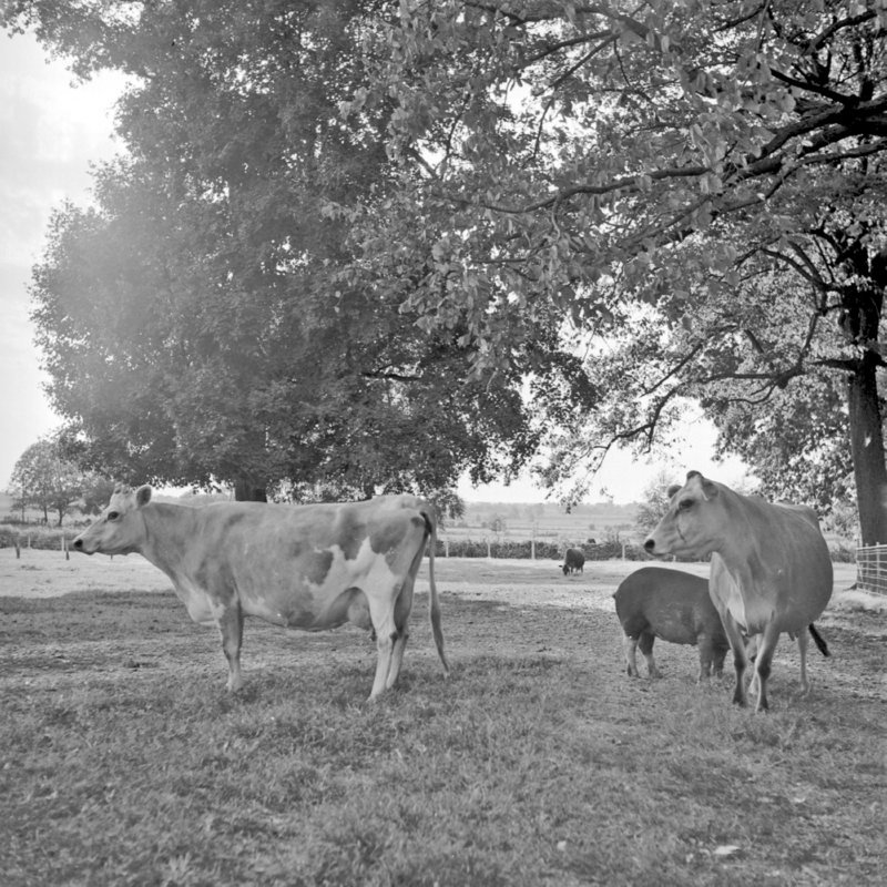 115_dairy cattle and other livestock. (1951).jpg