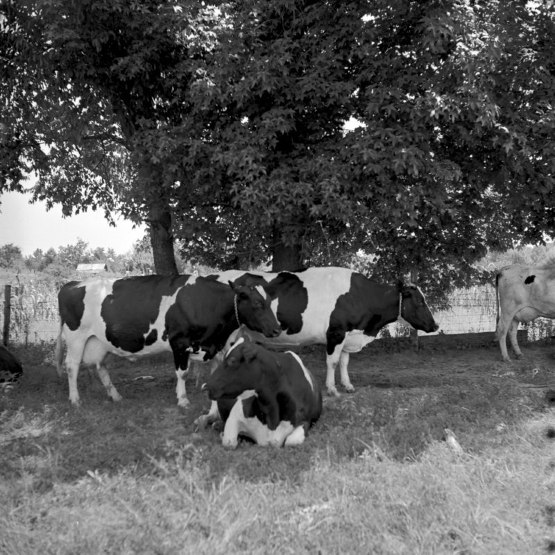 127_and the cows... (1951).jpg
